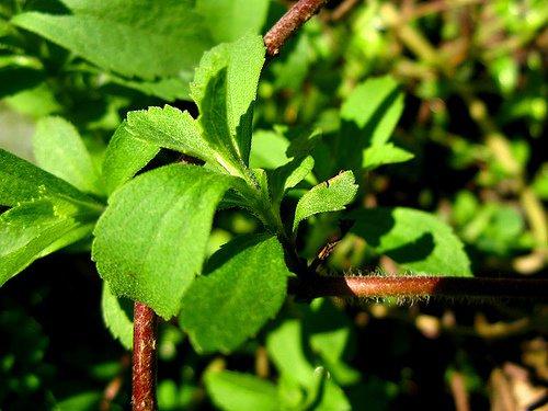 Edulcorantes-naturales-Stevia